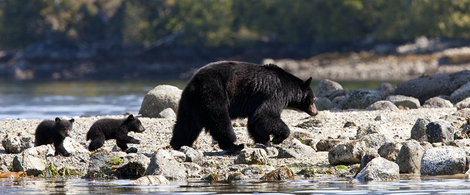 See bears in the wild - Tofino Accommodation